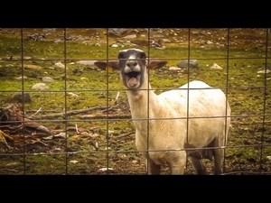 screaming goat soundboard