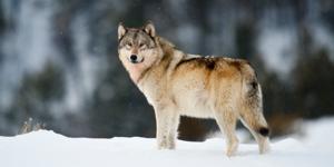 Uploads 2f1539481094212 9d83gcte68d cdb28768b5938344ffb674c86029e974 2fgray wolf sam parks