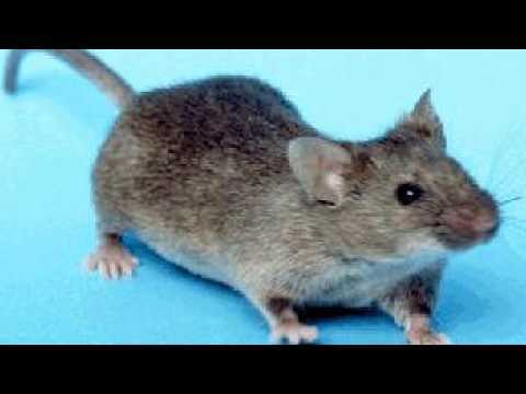 ▶️ MOUSE SOUND EFFECT  MOUSE SQUEAKING SOUNDS  MOUSE