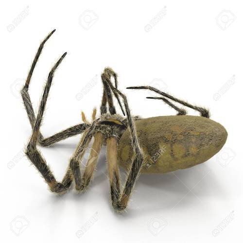 124928206 dead corn spider on white background 3d illustration isolated